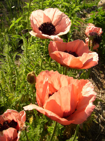 And now, my beauties, something with poison in it, I think. Something with poison in it, but attractive to the eye, and soothing to the smell. Poppies... Poppies. Poppies will put them to sleep. Sleep. Now they'll sleep!