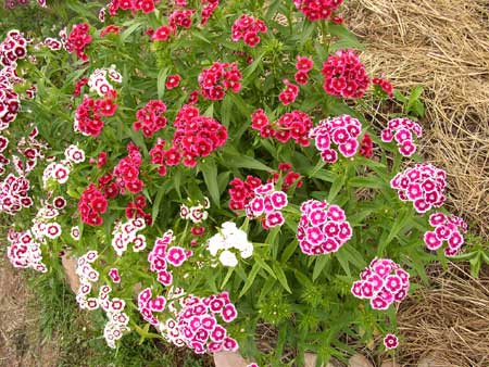 Sweet, sweet william